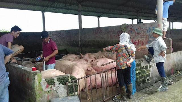 """Theo các thương lái chuyên """"ăn"""" heo ở chợ heo này cho biết, hiện giá heo đang giao động từ 35.000 - 38.000 đồng/kg, heo ngon có lúc lên đến 39.000 đồng/kg."""