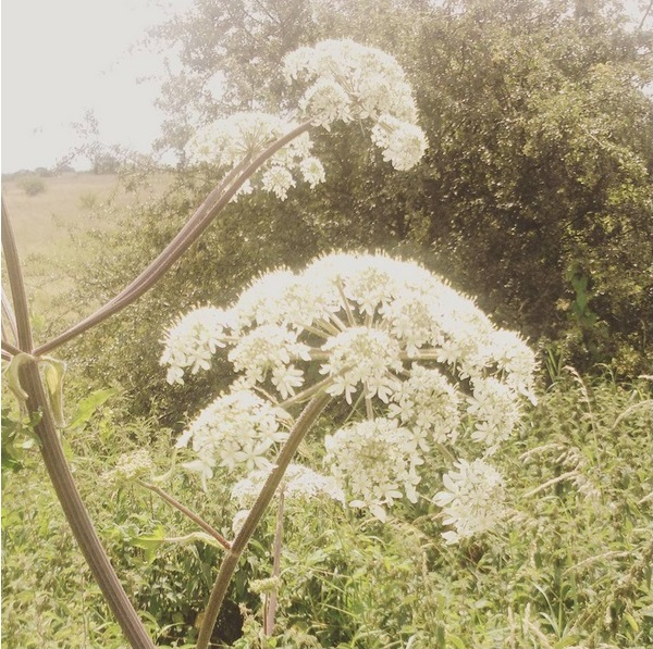 Small white wildflowers, quite possibly meadowsweet. English countryside in early spring and summer in the sunshine.