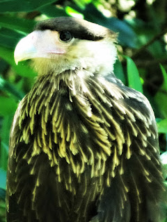 Fêmea de Gavião em Toco de Árvore - Parque Saint Hilaire, Viamão