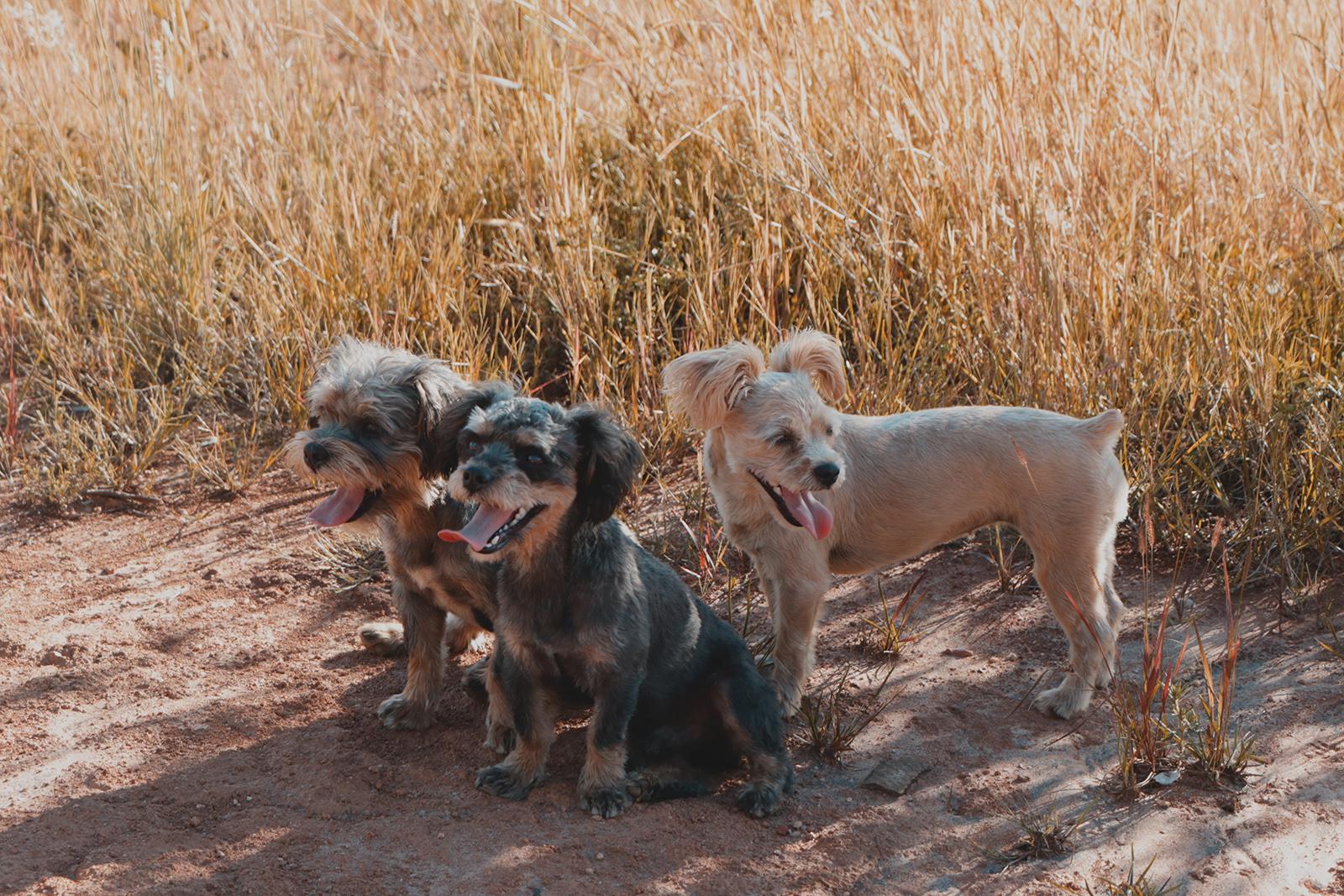 3 cachorros posando para foto