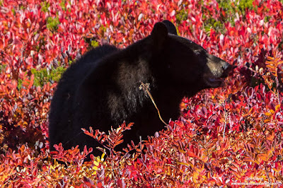 Image of a black bear in the fall foliage of Paradise Park, Mount Rainier National Park, Washington.