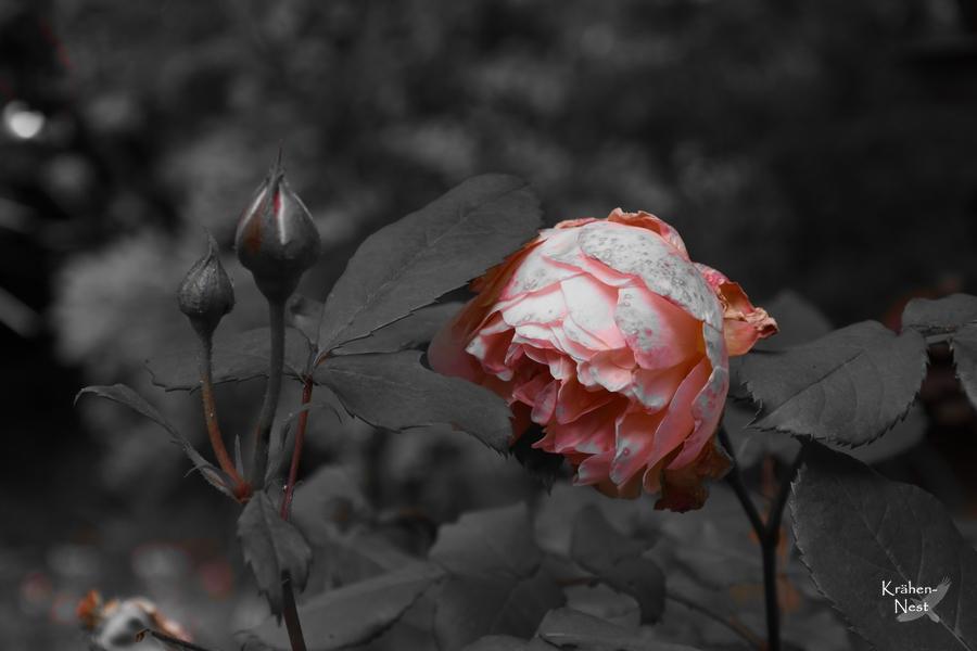 rosen schicken lassen