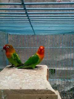 Lovebird Kawin tapi tidak Bertelur