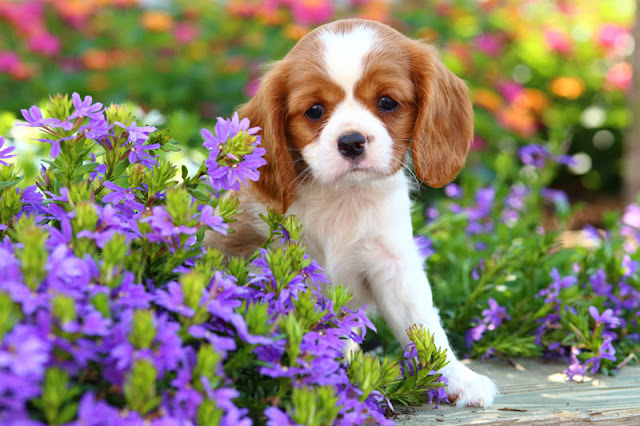 A Cavalier King Charles Spaniel puppy sits amongst the flowers