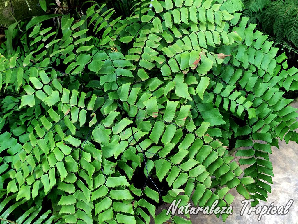 Naturaleza tropical 6 helechos que no pueden faltar en tu for Planta ornamental helecho nombre cientifico