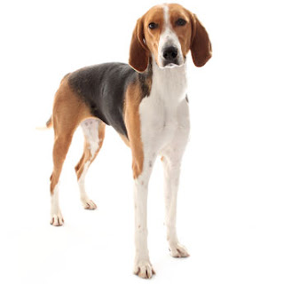 Everything about your American Foxhound