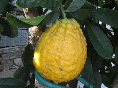 Fruit citrus medica