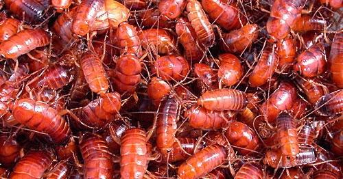 最佳生物餌料 ~ 櫻桃紅蟑: 櫻桃紅蟑螂介紹