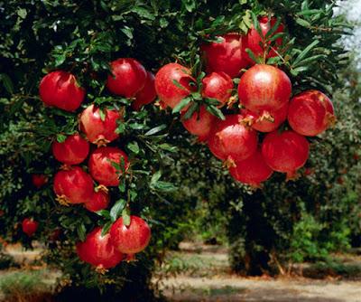 Công dụng từ cây lựu Ấn Độ