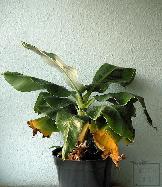 Musa tropicana, musa super dwarf cavendish. Co to za bananaowiec? Jak wygląda musa tropicana/tropikana, co to za gatunek, identyfikacja bananowca. Bananowiec ze sklepu, z marketu, bananowiec bez nazwy, nazwa handlowa.