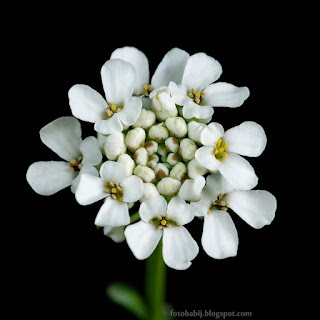 http://fotobabij.blogspot.com/2015/04/ubiorek-wieczniezielony-kwiaty-iberis.html