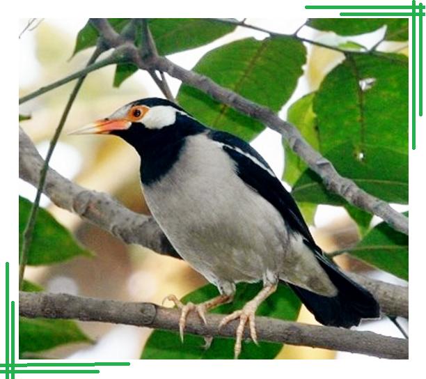 Cara Mudah Ternak Burung Jalak Suren Dengan Baik dan Benar