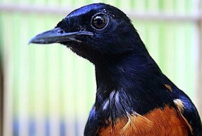 Tips Dan Cara Akurat Mengatasi Burung Murai Batu Cabut Bulu Paling Lengkap