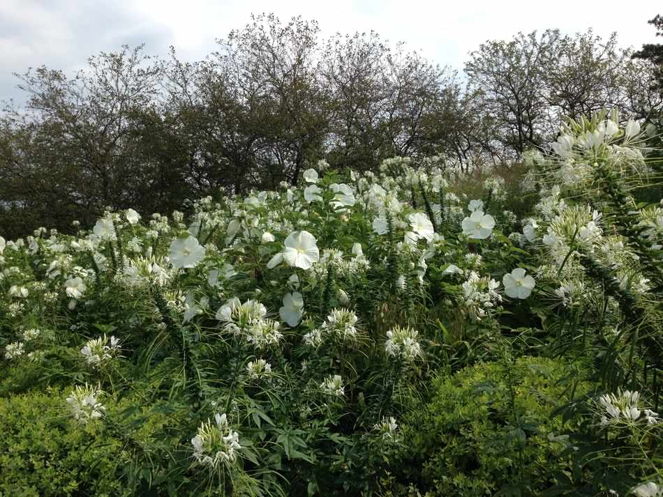 Chicago Botanic Garden's Native Plant Garden - a white combination of Cleome spinosa 'Helen Campbell' and Hibiscus moscheutos