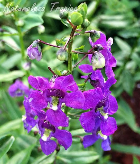 Flores típicas de una Fernandina, género Angelonia
