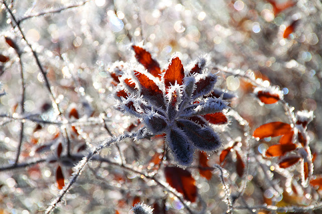 hoar frost, winter, leaves, ice, icy