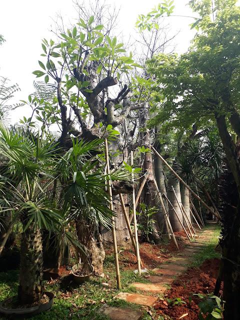 Pusat pohon bottle tree