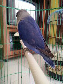 perbedaan lovebird violet SF dan violet DF