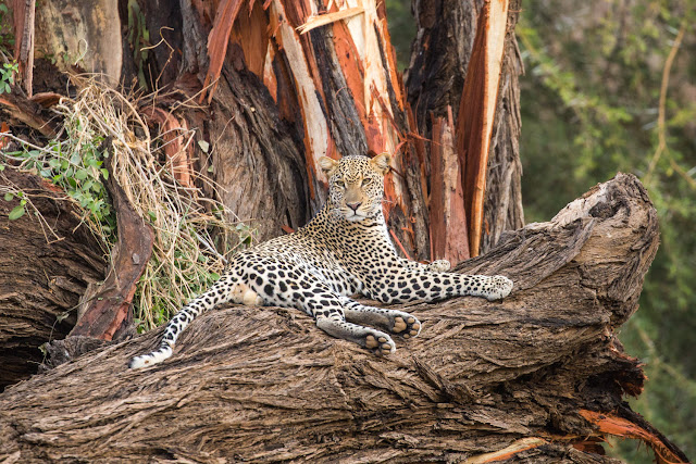 Leopardo tumbado en Samburu