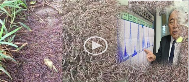 Video Puluhan Ribu Ulat Gonggok Keluar Dari Dalam Tanah 312ccfb026