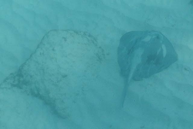 Gardner Bay ray
