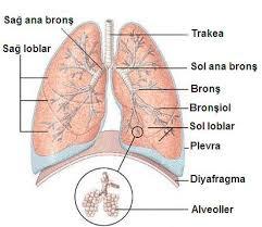 Alt Solunum Yolları Ve Anatomisi