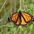オオカバマダラとはどんな蝶か。脳の仕組みがまた1つ解明された