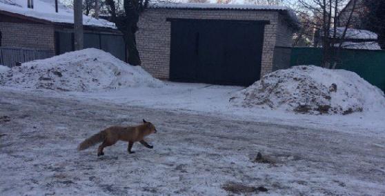 В Иваново по улице лиса ходила