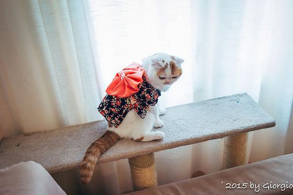 Ngộ nghĩnh trào lưu mèo mặc Kimono điệu đà như người