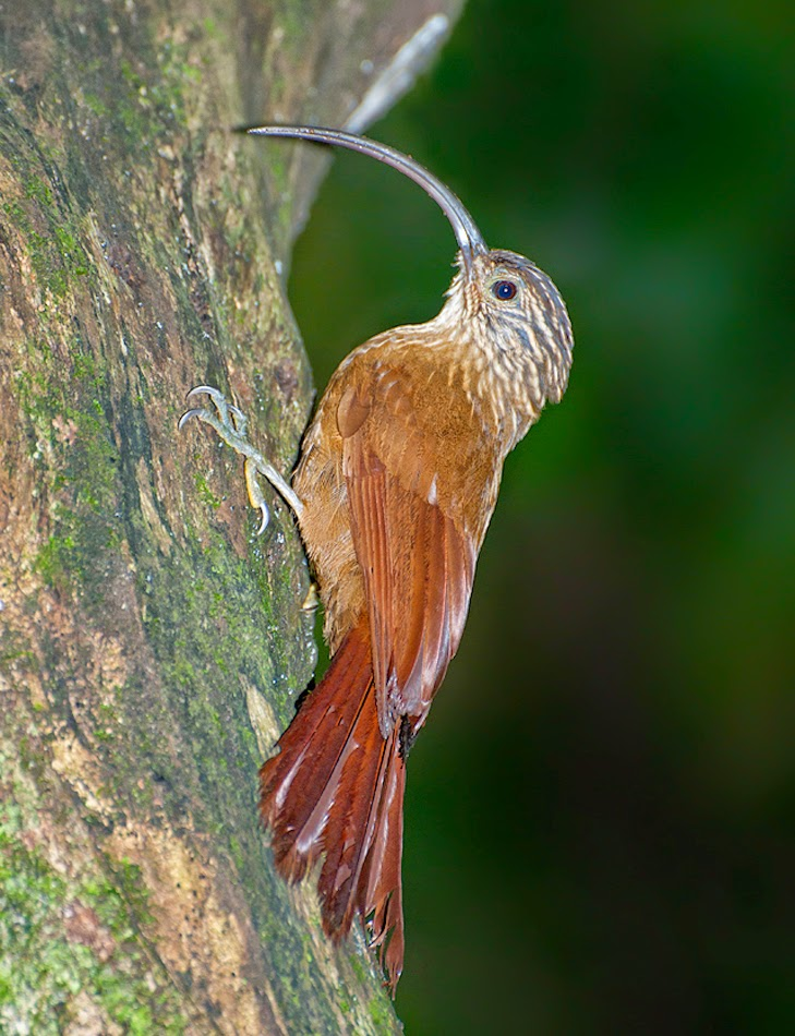 Black billed Scythebill