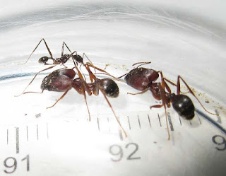 Minor worker and major workers of Pheidole longipes