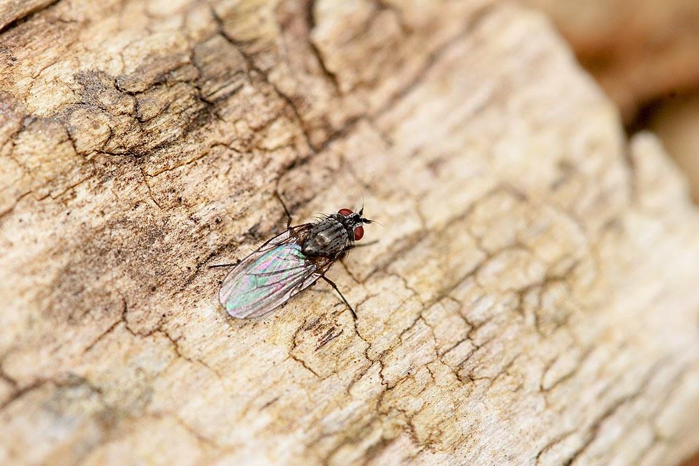 Unknown fly - Lodge Lake, Milton Keynes