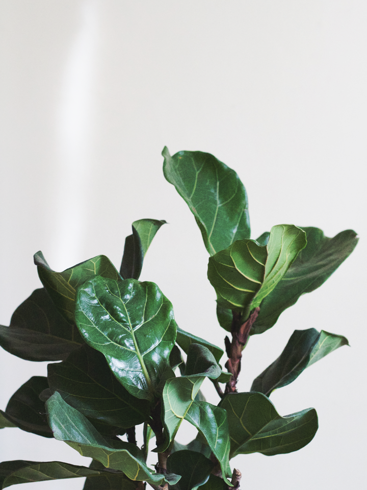 Fiddle Leaf Fig Trees Have Been The It Of House Plants In Design World For A Few Years Now And I Ve Long Had My Sights Set On Bringing One Home
