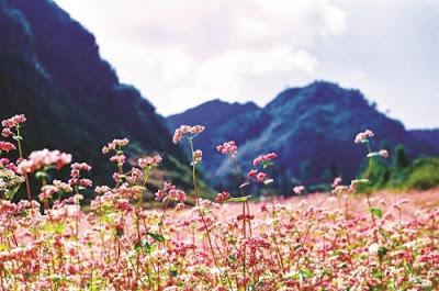 Hà Giang đẹp rạng rỡ với lễ hội hoa tam giác mạch 2