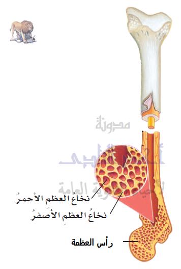تركيب الجهاز المناعى - الأعضاء الليمفاوية - المركزية - نخاع العظام الأحمر