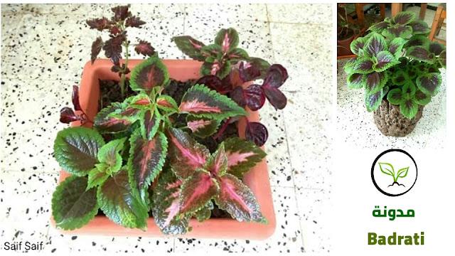 زراعة نبات السجادة