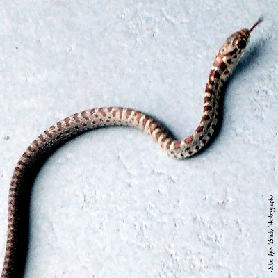 Juvenile Southern Black Racer Snake - Leesburg, Florida