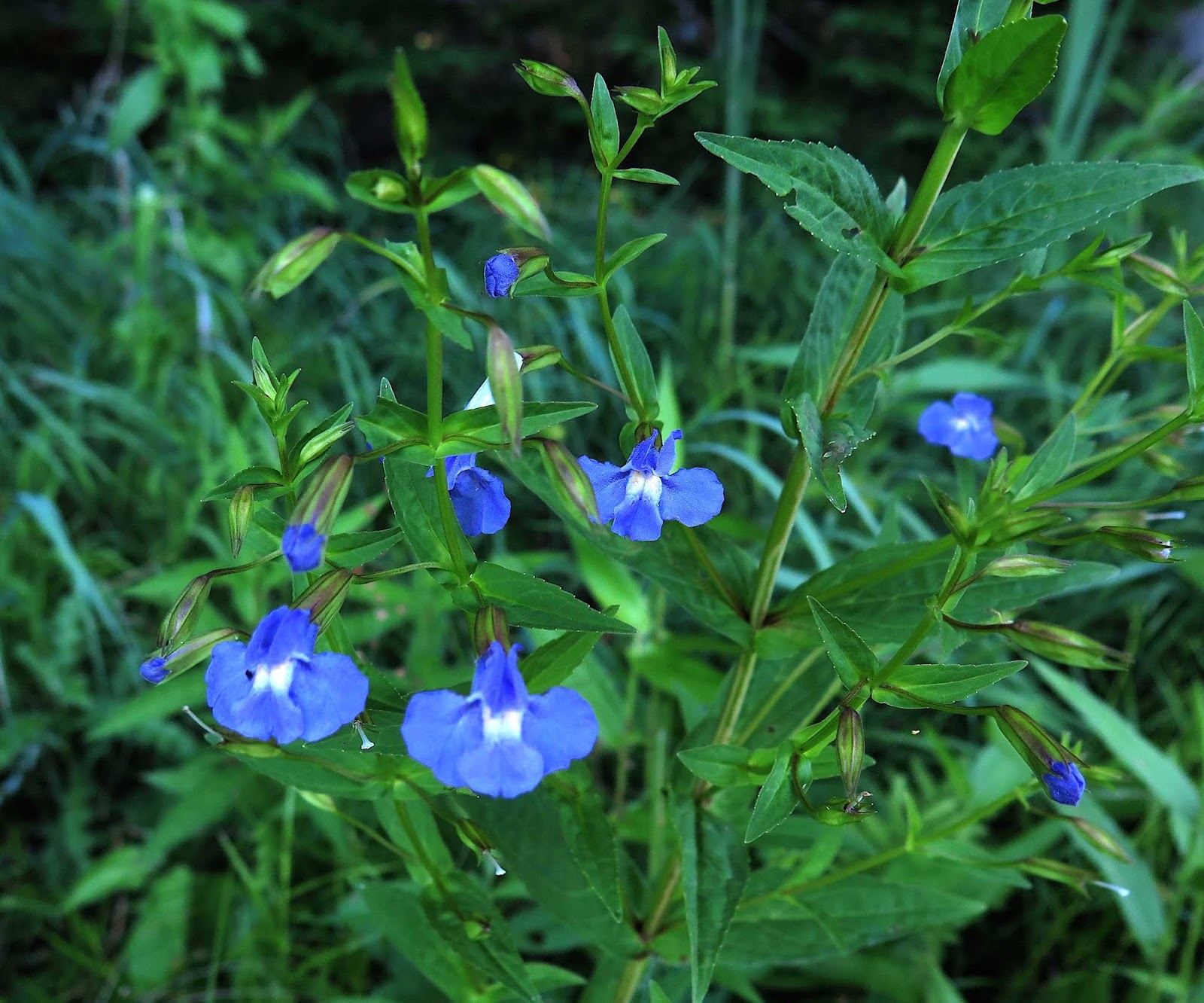 Saratoga woods and waterways blue sky blue water blue flowers turned out that most of the riverbank blooms were echoing that blue theme its hard to imagine a bluer blue than that of monkey flower mimulus ringens izmirmasajfo