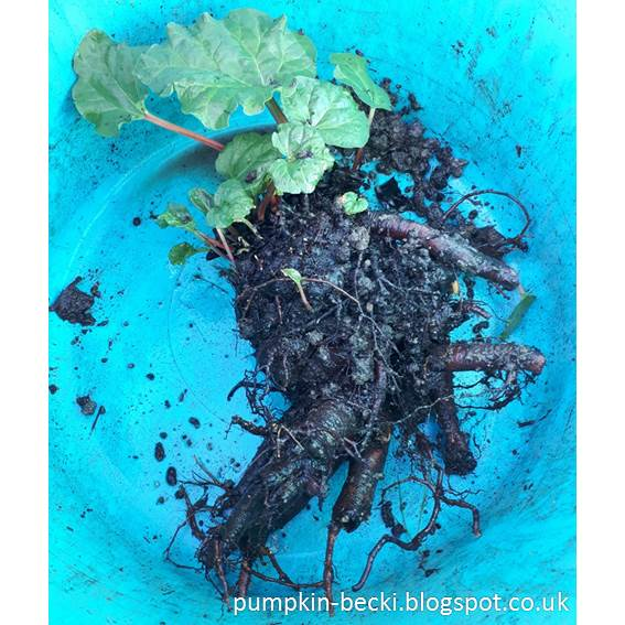 Stockbridge Arrow Rhubarb crowns soaking
