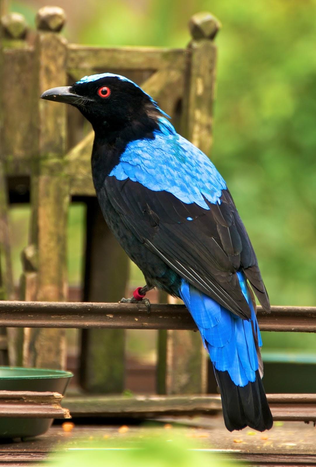 Adu Kicauan Terbaik Burung Cucak Biru Vs Cendet Harga Burung Pentet Vs Gonggo Lilo Foto Burung Kicau