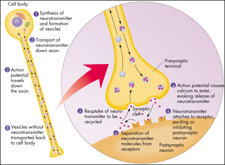 Biology: Synapse