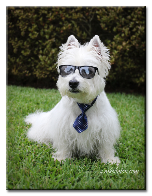 Pierre Westie in sunglasses and blue tie