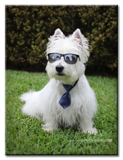 Pierre Westie in sunglasses and blue tie