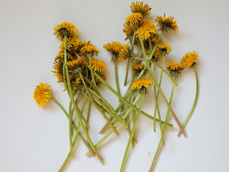 picked dandelions