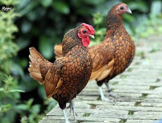 harga ayam batik