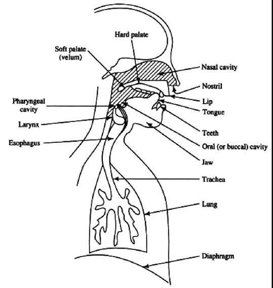 speech mechanism air stream mechanism diagram  respiratory