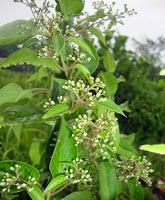 http://indonesian-herbal-medicine.blogspot.com/2015/05/homeremedies-for-eczema-dermatitis-stomachpain.html