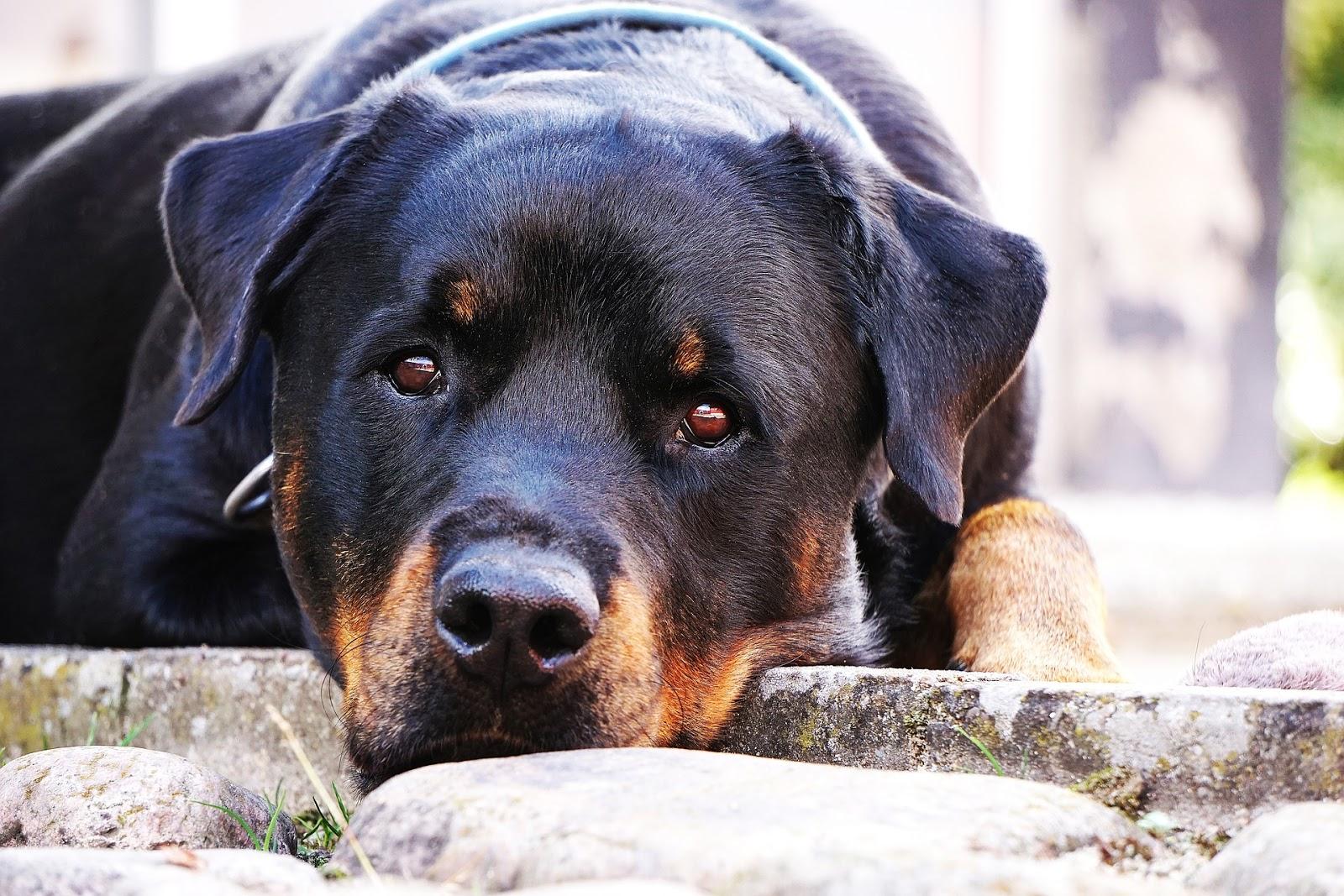 Hình ảnh những chú chó Rottweiler cực đẹp