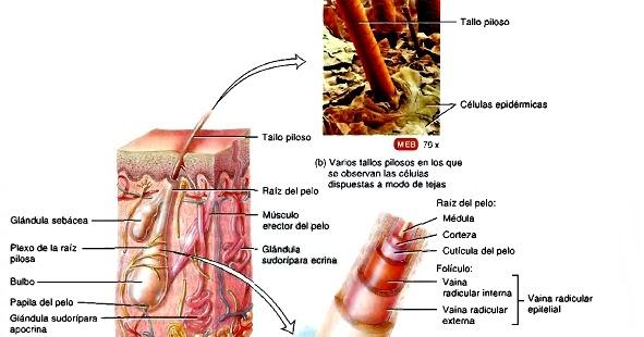 Estructuras anexas de la piel (pelo, glándulas cutáneas y uñas)
