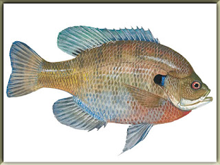 Bluegill Fish Pictures